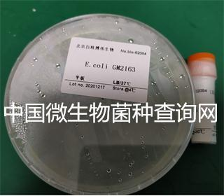 E.coli GM2163
